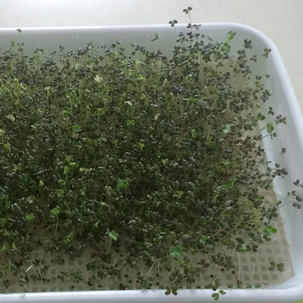 Microgreen seeds - red mizuna, 25 gr.